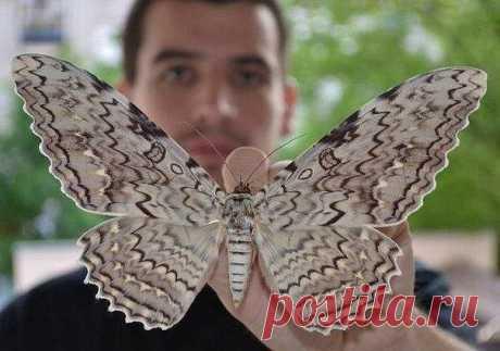 Самая большая ночная бабочка в мире — Совка агриппина. Размах крыльев 28 см.