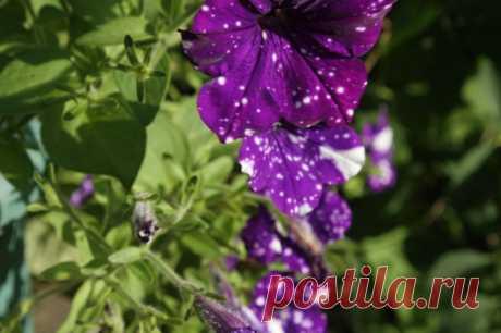 У петунии желтеют листья? Главные причины и реанимация красавицы — Садоводка