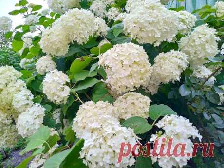 Гортензия древовидная - королева сада! Посадка, уход и размножение! | 6 соток. Светлана Аниканова | Яндекс Дзен #цветы #дача #сад #цветник #flowers #garden