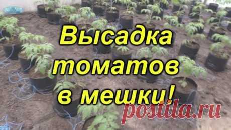Высадка томатов в пакетах- отличный способ для раннего урожая! - Яндекс.Видео
