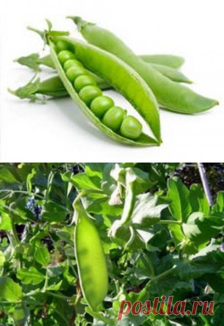 Выращивание гороха на даче: выбор сорта, посадка и уход