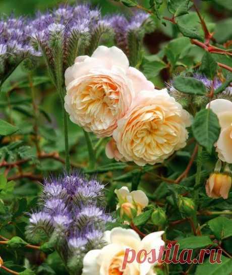 20 дуетов: роза и компаньон 20 примеров посадки роз с растениями-компаньонами с фото.