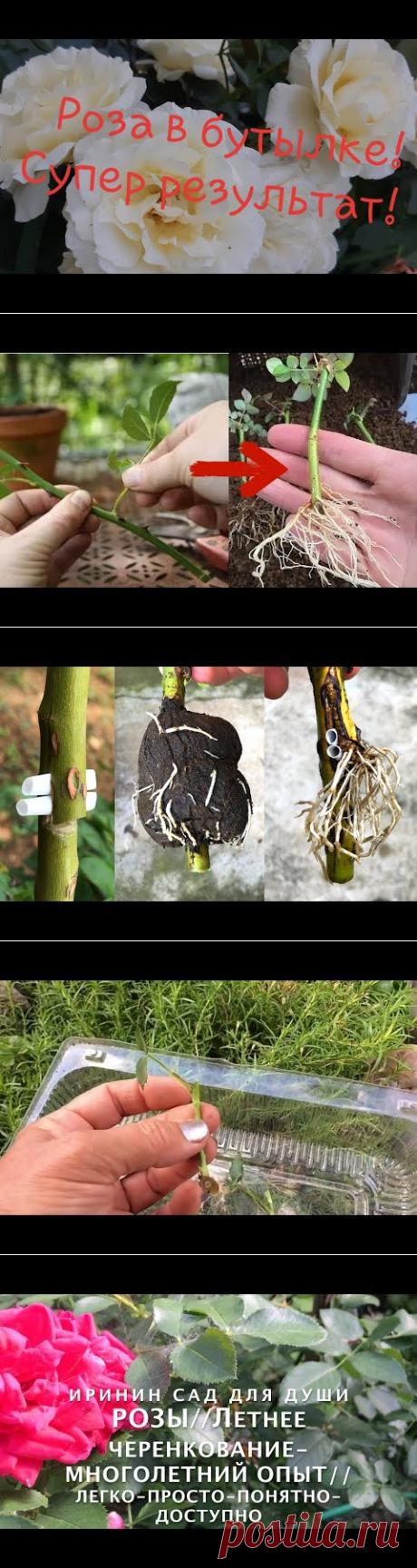 Череночник из бутылки! Черенкование роз удаётся на УРА!!!🍀🤩//Борис Борисов - YouTube