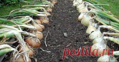 В чем особенности Верейского способа выращивания лука | Огород просто | Яндекс Дзен