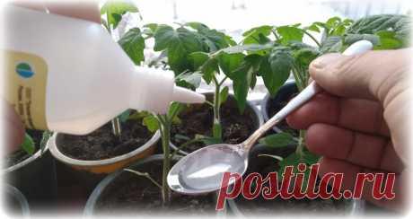 Перекись водорода помогает вырастить крепкую и здоровую рассаду. Расскажу, как я её применяю | Люблю свою дачу | Яндекс Дзен