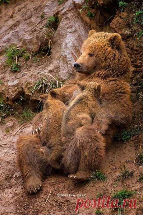MOMMA BEAR  By Marina Cano