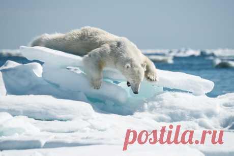 Хорошо вчера отпраздновали День белого медведя? Не расслабляйтесь, еще целый рабочий день впереди – хватайте минералку и вперёд, творить великие дела! ❄ Автор фото – Григорий Цидулко: nat-geo.ru/community/user/116443