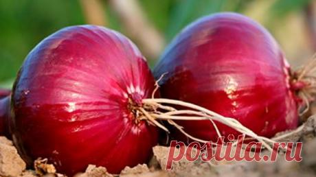Вот как употреблять фиолетовый лук, чтобы избавиться от диабета, холестерина, гриппа, простуда, запора и укрепить сердце и сосуды! — Полезные советы