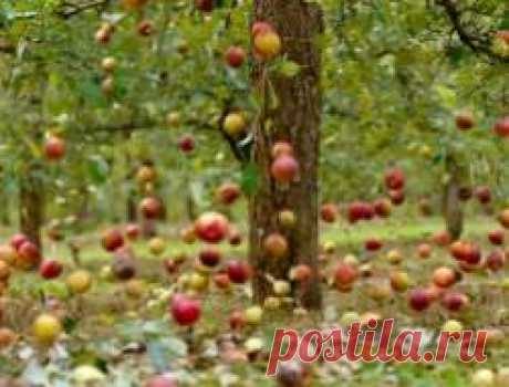 What to do if the tree dumps immature apples in June