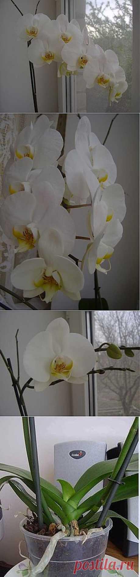 Фаленопсис - это Орхидея максимально адаптированная к домашним условиям и из всех орхидей наиболее не прихотлива. Тем кто хочет завести Орхидею рекомендую начинать именно с этой.