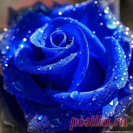 РОЗА-BLUE OCEAN