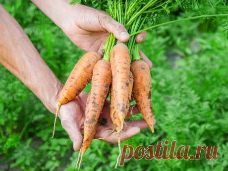 Правила второго урожая моркови. Летний посев. Фото — Ботаничка.ru