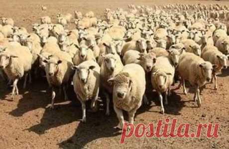 Посмеемся и отдохнем)) Сегодня мы возьмем интервью у овечки из группы поддержки тринадцатого стада... — Здравствуйте, отличная стрижка! — Здравствуйте, спасибо! — Как вы относитесь к строительству мясокомбината? — Это отлично! Наша ферма теперь будет отвечать высоким европейским стандартам. — Вы слышали, что там планируется выпуск баранины?