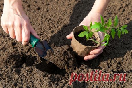 7 противопоказаний при выращивании рассады помидоров, которые действуют на них губительно