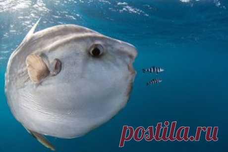 Где обитает и как выглядит рыба мола-мола? Чем питается и с какой скорость плавает рыба-солнце? Опасна ли рыба-солнце для человека?