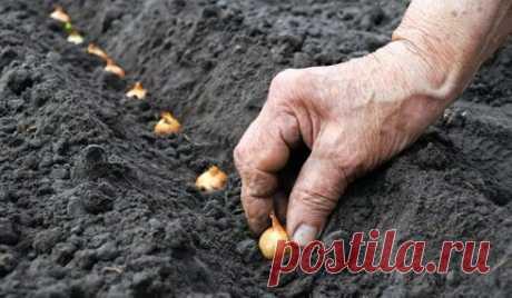 Выращивание репчатого лука: советы огородников