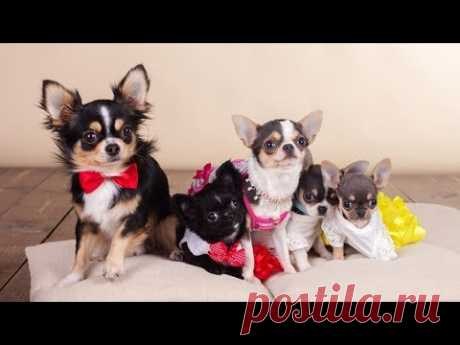 ШЛЕЙКИ для СОБАКИ 💗 HARNESS for DOG/Cat 🐱 Einfaches Hundegeschirr 🐱 for CHIHUAHUA Rembo 🔒