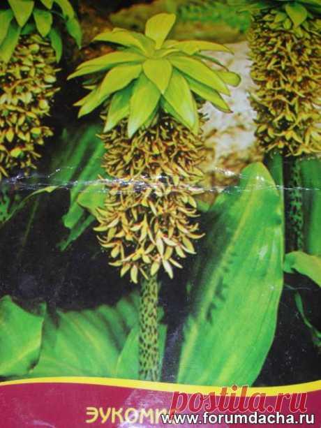 Эукомис (хохолковая лилия). Опыт выращивания