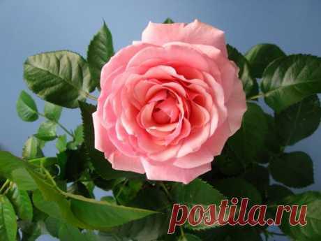 КОМНАТНАЯ РОЗА: ПРАВИЛЬНЫЙ УХОД, ПОСАДКА И РАЗМНОЖЕНИЕ  Многие из нас свою первую комнатную розу получили в подарок и, как это часто бывает с новым растением, совершенно не представляли тогда, как за ней ухаживать. Чаще всего подаренный цветок ждала печал…