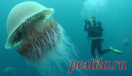 Какая медуза самая большая в мире? Размеры, интересные факты, фото