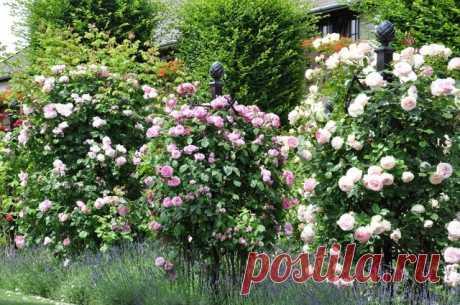 10 лучших крупных роз-клаймеров. Описание сортов розы. Фото — Ботаничка.ru