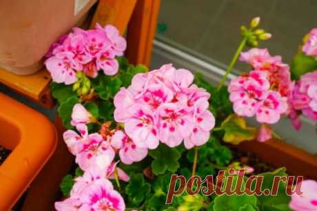 How to look after a geranium that it looked as a sphere from flowers and leaves