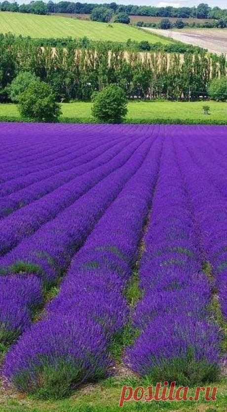 Роскошное лавандовое поле!!!
