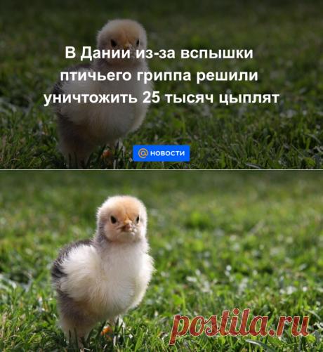 В Дании из-за вспышки птичьего гриппа решили уничтожить 25 тысяч цыплят - Новости Mail.ru