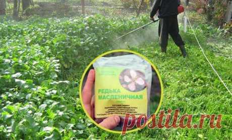 Масличная редька в качестве сидерата для улучшения плодородия почвы
