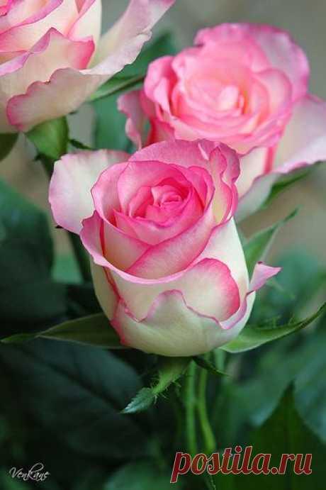 Письмо «Мы нашли новые Пины для вашей доски «Розы».» — Pinterest — Яндекс.Почта