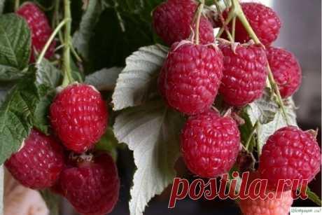 Как получить отличный урожай малины?