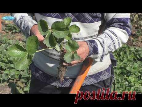 Как подготовить рассаду клубники к пересадке осенью.