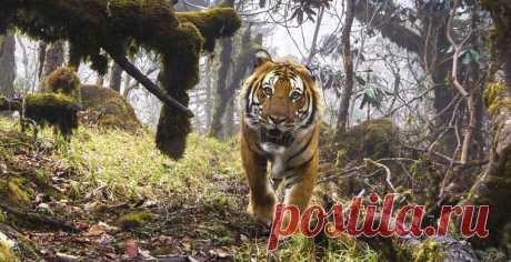 Тигры Бутана: настоящие и мифические Редкие изображения диких тигров и других животных, захваченные фотоловушками, перемежаются существами нарисованными и даже воображаемыми: в Бутане царит настоящий культ тигра. Почему — рассказываем
