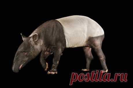 Тапиры – животные необычные. У них есть, например, лишние пальцы, но больше впечатляет размер их гениталий, которые иногда мешают им передвигаться.