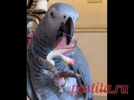 Избалованный  хитрюга попугай Тимоша