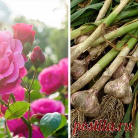 26 растений, которые всегда должны расти бок о бок на грядке - МирТесен