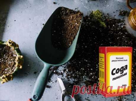 Пищевая сода – очень полезное вещество, которое используется в области кулинарии, косметологии, в уходе за растениями, борьбе с вредителями. Натуральность и эффективность белых кристаллов делает их востребованными среди садоводов и дачников. Предлагаем рассмотреть применение пищевой соды в саду и огороде, чем она может быть полезной, а также правила использования вещества...