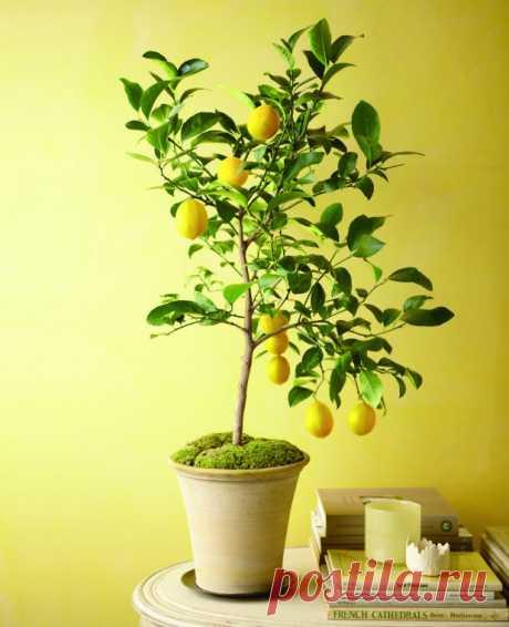 Садовые деревья в горшке в домашних условиях