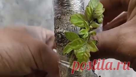 Лучшие способы прививки плодовых деревьев