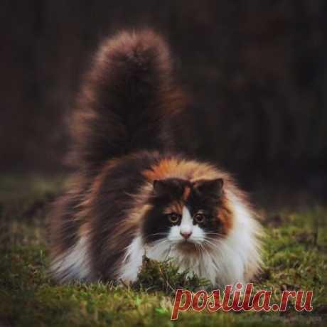 Норвежский лесной кот.