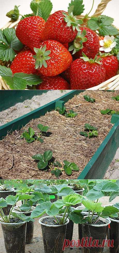 Выбор сорта, посадка и уход за земляникой — Ваше Плодородие
