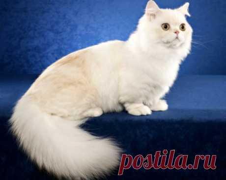 Порода кошек наполеон - это очень нежные и добрые существа, которые привносят теплоту своего кошачьего сердца в любой дом.