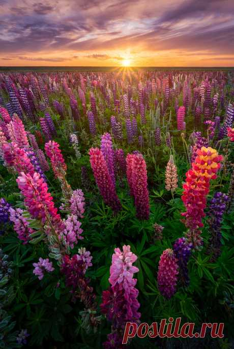 Flower Power You don't need to go to Iceland, Norway or New Zealand to see the Lupins. Made in Holland 😉