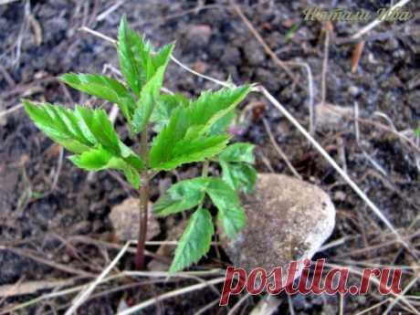 La hierba SNYT – el milagro la maleza. ¡El don de la naturaleza a la persona!!! | 6 sotok