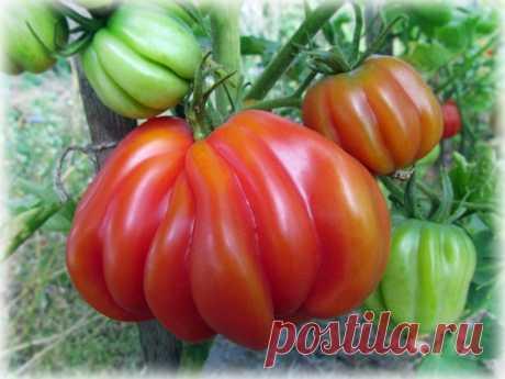 Если необходимо ускорить созревание томатов — Садоводка