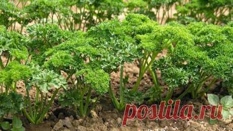 Чем подкормить петрушку для роста: лучшие удобрения, если зелень не всходит или плохо растет, как правильно вносить подкормку