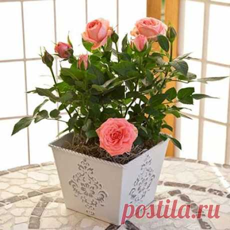 Комнатная роза уход и выращивание, сорта розы для выращивания в горшке