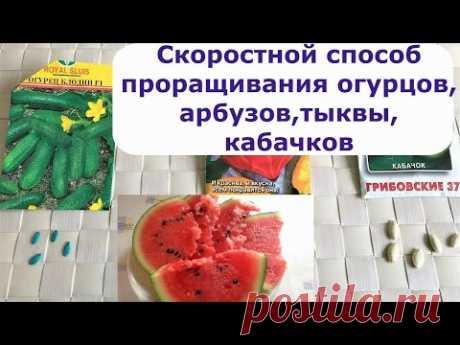 445.  Скоростной способ проращивания огурцов, арбузов, тыквы, кабачков