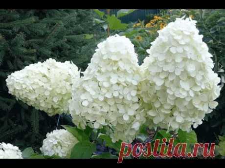 Гортензия метельчатая «Полярный медведь» | Hydrangea paniculata «Polar Bear» - YouTube