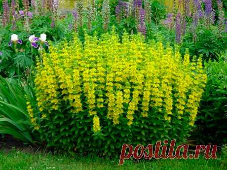 Многолетний садовый цветок Вербейник (Lysimachia). Корневищный травянистый многолетник, высотой до 1 м, стебли прямостоячие, листья мелкие, супротивные, яйцевидные. Цветки желтые, одиночные, в пазухах листьев. Стебель стелющийся и укореняющийся, до 50 см длинной. Цветет в июне - июле.  Основные виды. Наиболее распространены в декоративном садоводчестве: в.монетчатый, луговой чай (L.nummularia) - почвопокровное растение с ползучими тонкими стеблями длинной до 50 см, сильно разрастается.